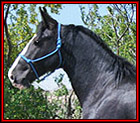 Introducing SCW HE'S A MIDNIGHT LEGEND TWHBEA #21000603 - beautiful, 15.2 hand, black sabino Tennessee Walking Horse stallion, by Delight's Midnight Legend, out of a daughter of Slush Creeks Jubal S., SC She's Simply Stunning. He is Heritage-certified. His pedigree blends the genes of World Grand Champions, Sun's Delight D., Midnight Sun, and Go Boy's Shadow, with the really old time blood of Black Dust M.R., Sun's Merry Man, A Masterpiece and Wilson's Allen. Standing in Montana.